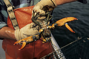 Lobsters Photos - A Fisherman Measuring An American by Michael Melford