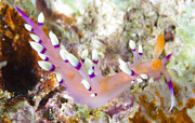 Tentacle Close-up Acrylic Prints - A Flabellina Nudibranch Amongst Coral Acrylic Print by Steve Jones