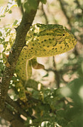 Dappled Light Posters - A Flap-necked Chameleon Well Poster by Jason Edwards