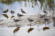 Wildlife Genre Prints - A Fling of Long Billed Dowitchers Print by Roena King