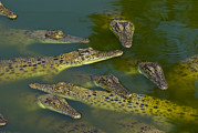 Backs Prints - A Float Of Saltwater Crocodiles Sun Print by Jason Edwards