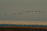 Flying Birds Prints - A Flock Of Canada Geese In Flight Print by Norbert Rosing