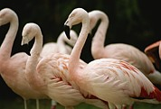 Flamingos Art - A Flock Of Chilean Flamingos by Joel Sartore