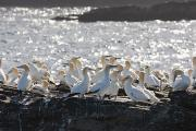 Rock Groups Photo Posters - A Flock Of Gannets Standing On A Rock Poster by John Short