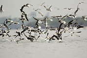 Flocks Of Birds Prints - A Flock Of Laughing Gulls Larus Print by Tim Laman