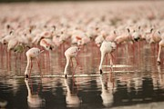 Flamingos Art - A Flock Of Lesser Flamingos  Feed by Roy Toft