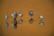 Flamingos Art - A Flock Of Migratory Flamingos Roost by Joel Sartore