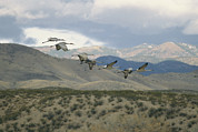 Animal Behavior Art - A Flock Of Sandhill Cranes In Flight by Marc Moritsch