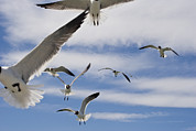 Flying Seagulls Framed Prints - A Flock Of Seagulls Fly Overhead Framed Print by Hannele Lahti