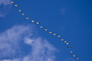 Flight Formation Photos - A Flock Of Snow Geese Chen by Ralph Lee Hopkins