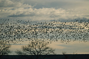 Flying Birds Prints - A Flock Of Snow Geese In Flight Print by Marc Moritsch