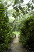 Floods Metal Prints - A Flooded Path At Manoa Falls Metal Print by Stacy Gold