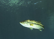 Rainbow River Photos - A Florida Largemouth Bass In The Clear by Terry Moore
