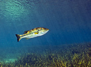 Rainbow River Photos - A Florida Largemouth Bass Swims by Terry Moore