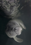Front View Art - A Florida Manatee In The Warm Waters by Terry Moore