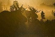 Bull Moose Posters - A Foggy Morning- Abstract Poster by Tim Grams