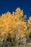 Aspens Posters - A Forest Changes Color As The Aspen Poster by Taylor S. Kennedy