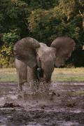Running Elephants Posters - A Forest Elephant Runs Through Water Poster by Michael Fay