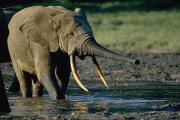 Central African Republic Photos - A Forest Elephant Stands by Michael Fay