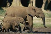 Central African Republic Photos - A Forest Elephant Walks With Two Calves by Michael Fay