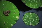 Amphibians Photography - A Frog On A Lily Pad by Michael S. Yamashita