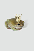 Animal Eye Framed Prints - A Frog Wearing A Crown, Studio Shot Framed Print by Paul Hudson