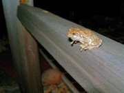 Split Rail Fence Prints - A Frog Went A Courting Print by Randy Rosenberger
