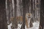 The Tiger Metal Prints - A Gaping Grimace Allows A Siberian Metal Print by Marc Moritsch