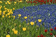 Grape Hyacinths Photos - A Garden Of Colorful Tulips And Grape by Raul Touzon