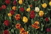 Close Views Prints - A Garden Of Tulips Print by Stacy Gold
