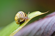 Glass Table Reflection Posters - A garden snail climbing on a green leaf  Poster by Christine Kapler