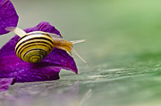 Glass Table Reflection Prints - A garden snail on clematis purple petal Print by Christine Kapler