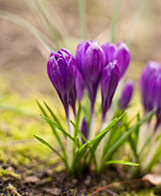 Crocus Flower Photos - A Gathering by Mike Reid
