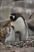 Cute Photographs Prints - A Gentoo Penguin, Pygoscelis Papua Print by Joel Sartore
