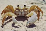 Bahama Islands Prints - A Ghost Crab Ocypode Sp. Assumes Print by James L. Stanfield