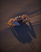 Eco-tourism Framed Prints - A Ghost Crab On The Beach On Medjumbe Framed Print by Jad Davenport