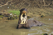 Brasiliensis Posters - A Giant Otter In A Stream Bed Poster by Ed George