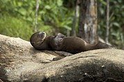 Brasiliensis Prints - A Giant River Otter Rests On A Tree Log Print by Nicole Duplaix