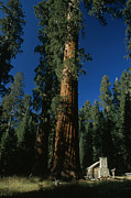 Log Cabins Prints - A Giant Sequoia Tree Towers Print by Phil Schermeister
