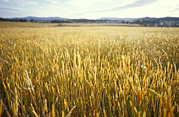 Yarra Valley Prints - A Golden Field Crop Of Seeding Grasses Print by Jason Edwards