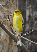Backyard Goldfinch Digital Art Prints - A Golden Finch Print by Terry Jacumin