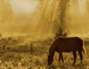 Equine Prints - A Golden Moment Print by Ron  McGinnis