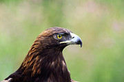 Golden Eagle Photos - A Golden Moment by Shane Bechler