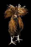 Captive Animals Posters - A Golden Polish Chicken Poster by Joel Sartore