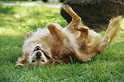 Golden Retriever Photos - A Golden Retriever Named Teddy Rolling by Jason Edwards