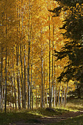A Golden Trail Print by Phyllis Denton