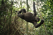 Apes Framed Prints - A Gorilla Swinging From A Vine Framed Print by Michael Nichols