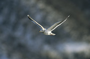 Peoples Framed Prints - A Graceful Gull In Flight Framed Print by Klaus Nigge