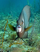 Fish Fins Posters - A Gray Angelfish In The Shallow Waters Poster by Michael Wood