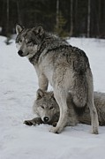 Canis Lupus Prints - A Gray Wolf, Canis Lupus, Stands Print by Jim And Jamie Dutcher